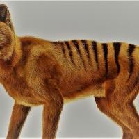 Hallan video del extinto Tigre de Tasmania
